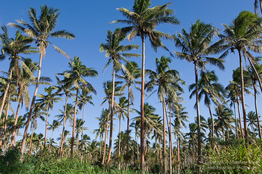 Taveuni, Fiji; coconut palm trees grow in groves on the southern end of the island, the coconuts are harvested for their meat and the husks are burned to heat water, which creates steam, to generate electricity