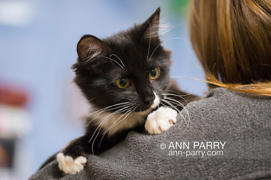 Wantagh, New York, USA. February 5, 2017. SALSA, a five month old black and white domestic female cat is looking around perched on visitor's shoulder  at Last Hope Animal Rescue's Open House party during Hallmark Channel's Kitten Bowl IV. Kittens in Last Hope Lions team played against kittens in North Shore Bengals team. Last Hope kittens have been part of each Kitten Bowl, whose purpose is to promote cat and kitten adoptions.