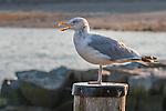 Herring gull in Rockport, MA