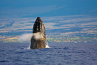 Breaching Humpback Whale and Hualalai Resort at distance, Megaptera novaeangliae, Hawaii, Pacific Ocean.