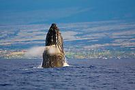 Breaching Humpback Whale and Hualalai Resort at distance, Megaptera novaeangliae, Hawaii, Pacific Ocean.