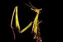 Dragon Mantis (Toxodera beieri), Danum Valley, Sabah, Borneo. June.