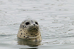 Harbor Seal (Phoca vitulina) pup, Elkhorn Slough, Monterey Bay, California