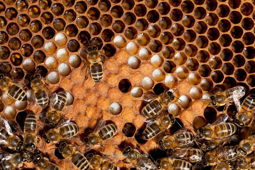Honey Bees on a frame ,  in a beehive.  .Note the larvae in the cells..Monkton Wylde, Dorset.