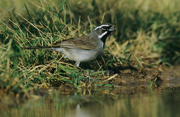Black-throated Sparrow, Amphispiza bilineata, adult drinking, Starr County, Rio Grande Valley, Texas, USA, April 2002