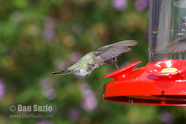 Male Anna's hummingbird, Calypte anna. Santa Cruz Mountains, California.