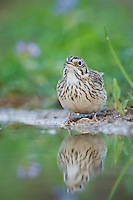 Vesper Sparrow, Pooecetes gramineus, adult drinking, Uvalde County, Hill Country, Texas, USA, April 2006