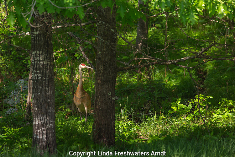 Sandhill crane in a northern Wisconsin forest.