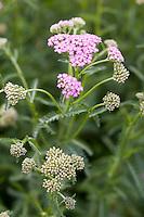 Europe/France/Bretagne/35/Ille et Vilaine/Bonnemain: Achillée en fleur  dans le jardin de Nadia  Romé à la Ferme des  Portes (herbes aromatiques,mesclun, légumes rares, volailles)