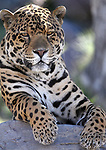 El Santo, a 5-year-old jaguar, hangs out at his home at Animal Ark, north of Reno, Nev., on Monday, May 1, 2017. <br /> Photo by Cathleen Allison/Nevada Photo Source