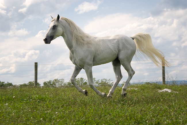 Picture of white Arabian stallion trotting along the fence line in a summer pasture.