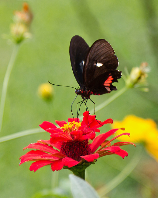 A Pink Cattleheart is purched on a red flower against a light green background with touches of yellow. The butterfly is sipping from the flower with probiscus, antennae and long legs clearly apparent - as are the red markings on the body and wngs.