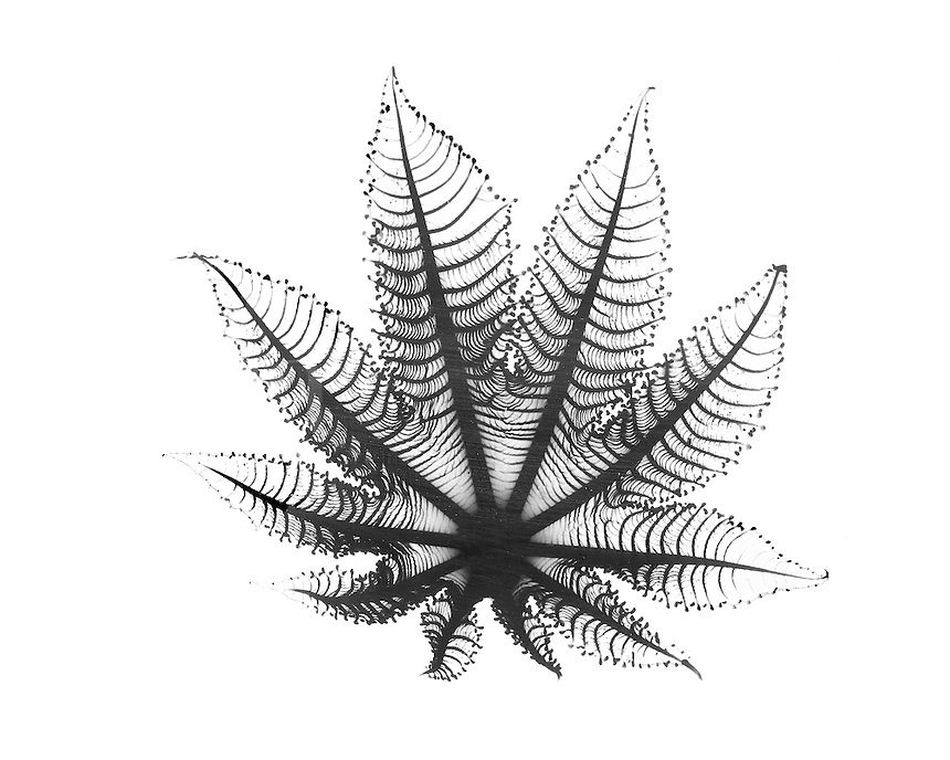 Xray leaf of rice paper plant
