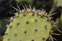 Desert Prickly-Pear cactus on a frosty winter morning in Saguaro National Park East.