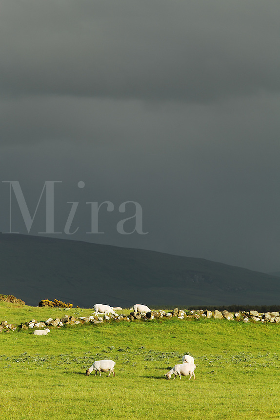 Sheep grazing in pasture under stormy skies, Ireland