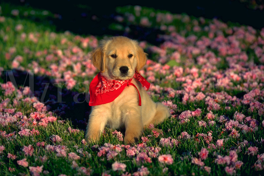 Portrait of a golden retriever puppy sitting in grass with colorful fallen blossoms.