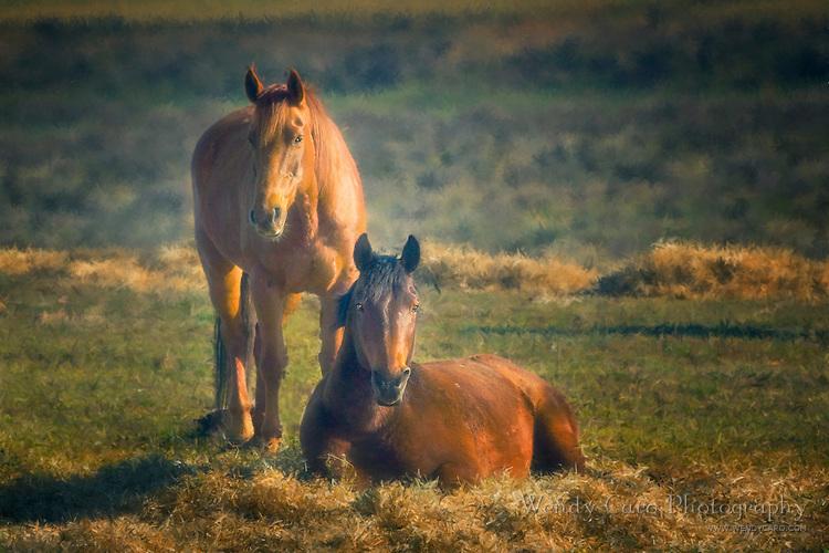 Two horses guardingtheir morning breakfast, Colorado