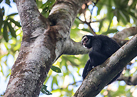 This is an endangered endemic monkey species we were very fortunate to see near Cristalino Lodge.