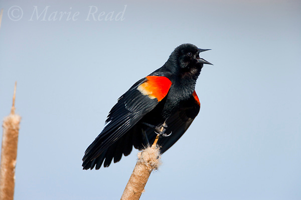 Red-winged Blackbird (Agelaius phoeniceus) male singing and displaying, Montezuma National Wildlife Refuge, New York, USA