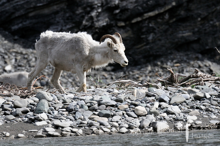 A Dall Sheep walks along the Kongakut River, in Alaska's Arctic National Wildlife Refuge.