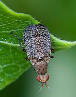 Marsh Fly; PA, Philadelphia, Schuylkill Center;