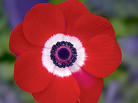 Close up of Harmony Scarlet Anemone
