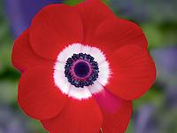 Close up of Harmony Scarlet Anemone
