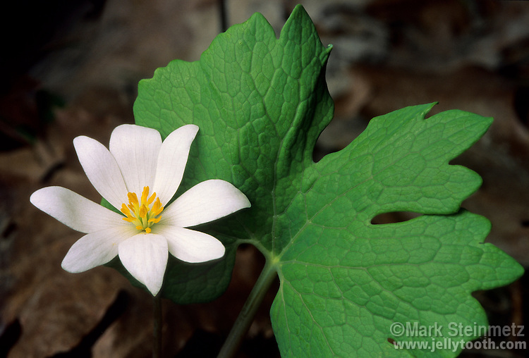 Bloodroot (Sanguinaria canadensis), an early spring woodland wildflower native to central and eastern North America. Each plant produces a single leaf, and a single flower stalk. Petals are very delicate and easily blown off in the wind. Hocking County, Ohio, USA.