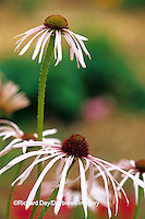 63821-05319 Pale Purple Coneflowers (Echinacea pallida) in garden, Marion Co.  IL