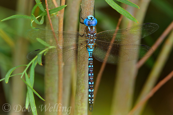 339360055 a wild male  blue-eyed darner rhionaeschna multicolor perches on a woody plant stem near a stream close to jean blanc road north of bishop in inyo county california united states