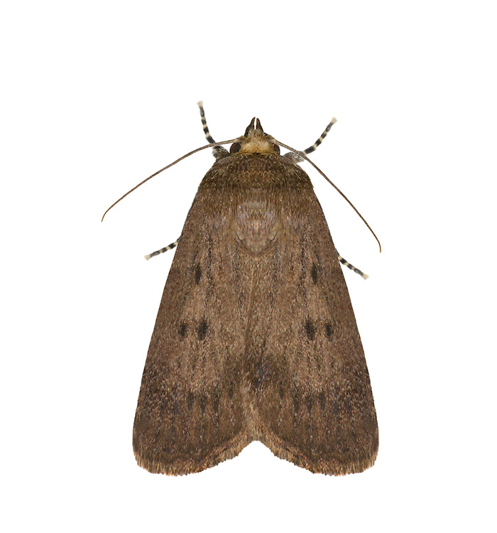 73.064 (2299)<br /> Mouse Moth - Amphipyra tragopoginis