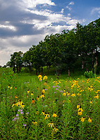 The Prairie Coneflower or Gray-headed Coneflower blooms on the prairie in late July, Nachusa Grasslands Nature Conservancy, Ogle & Lee Counties, Illinois