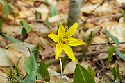 Trout Lily - Erythronium americanum- on the side of Lowes Path in the New Hampshire White Mountains during the spring months.