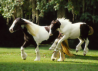 #287   Gypsy Vanner Horse foal jumps for joy frolicking with mare..© Mark J. Barrett 200.#287   Gypsy Vanner Horse foal jumps for joy frolicking with mare..¬© Mark J. Barrett 200
