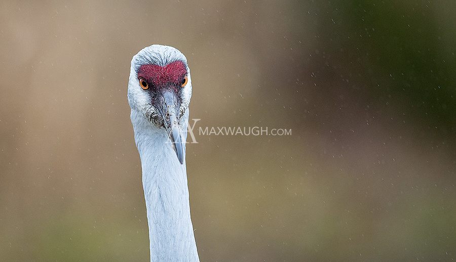 A Sandhill crane takes a walk in the rain.