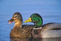 Mallard hen & drake. (Anas platyrhynchos)..Spring courtship..Pacific Northwest.