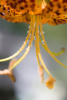 Deck railing reflected in water drops on a leopard lily