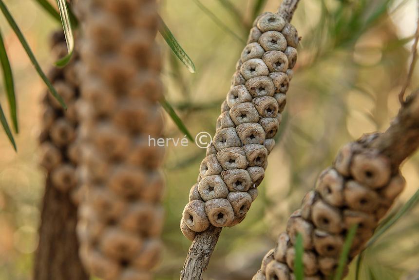 Le Domaine du Rayol:<br /> Callistemon rigidus (rince-bouteille), capsules des fruits en manchon autour de la tige.