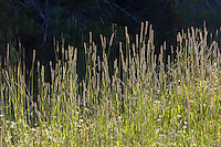 Phleum pratense, Timothy Grass (non native) backlit in Eldorado Nationla Forest, California