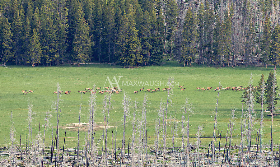 A sizable elk herd runs through a field near Yellowstone Lake.  They were spooked by a couple of hikers.