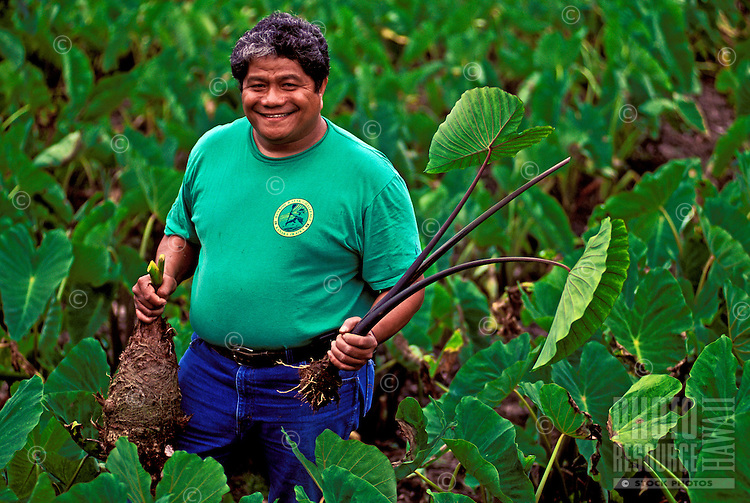 A Big Island farmer smiles holding a huge taro or kalo plant in a loi (Hawaiian taro field) located in Pahoa. Sacred to the native Hawaiians as the ancient food staple of the early Polynesians, taro is used for poi.