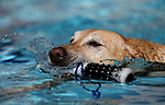 Tilly plays at the 9th annual Pooch Plunge at the Carson City Aquatics Center in Carson City, Nev., on Saturday, Sept. 23, 2017. The event is a fundraiser for Carson Animal Services Initiative which supports the Nevada Humane Society in Carson City. <br />