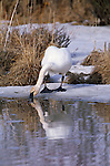 Trumpeter swan standing on shore drinking water
