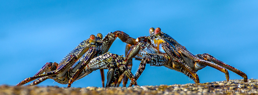 Wildlife Photograph of Rock Crabs struggling with each other on the rocks in Puerto Vallarta, Mexico.