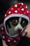 Chihuahua Chi Chi dob 2005 7lbs