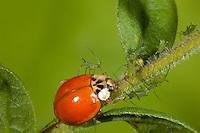Multicolored Asian Lady Beetle; Harmonia axyridis; with prey - Uroleucon caligatum aphids - on goldenrod; PA, Philadelphia, Schuylkill CenterPA, Philadelphia, Schuylkill Center