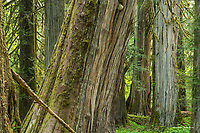 Old growth trees in the Grove of the Patriarchs, Mt. Rainier National Park