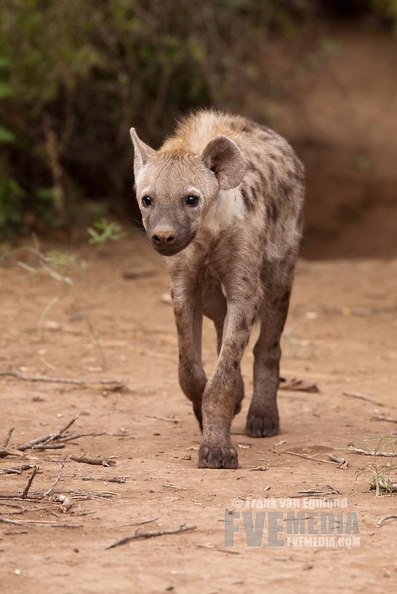 Spotted Hyena (Crocuta crocuta)...Mashatu Game Reserve..Tuli block, Botswana..November 2010.