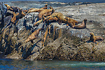 Northern or Steller sea lions, <br /> British Columbia, Canada