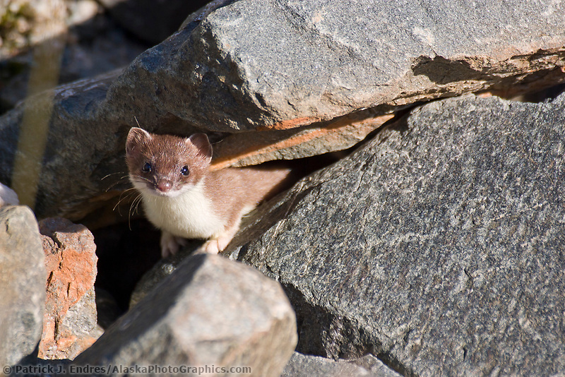 Short-tailed weasel peers out from boulder rubble in the Alaska Range mountains. Also called Ermines, grow to be about 14-17 inches long and are known to be master predators, consuming 40%%%%%%%%%%%%%%%%%%%%%%%%%%%%%%%% of their body weight daily.